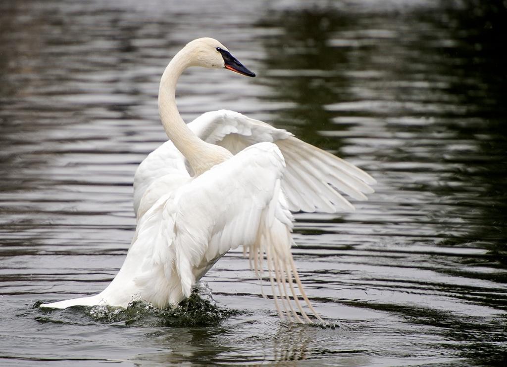 "A ""Dancing"" Trumpeter Swan"
