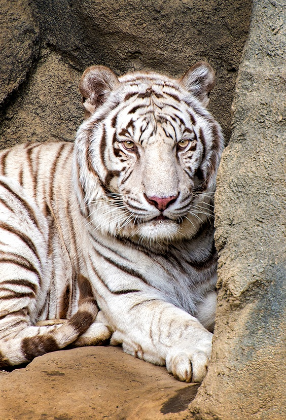 White Tiger Stare