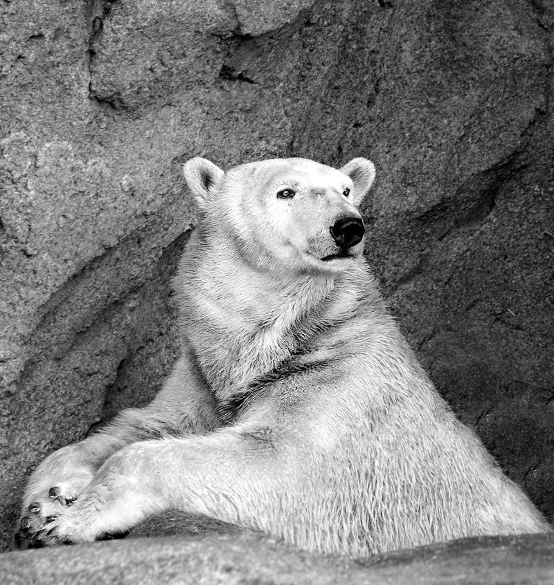 Polar Bear Senior Portrait