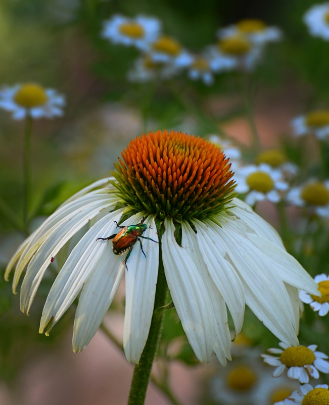 Beetle & Cone Flower