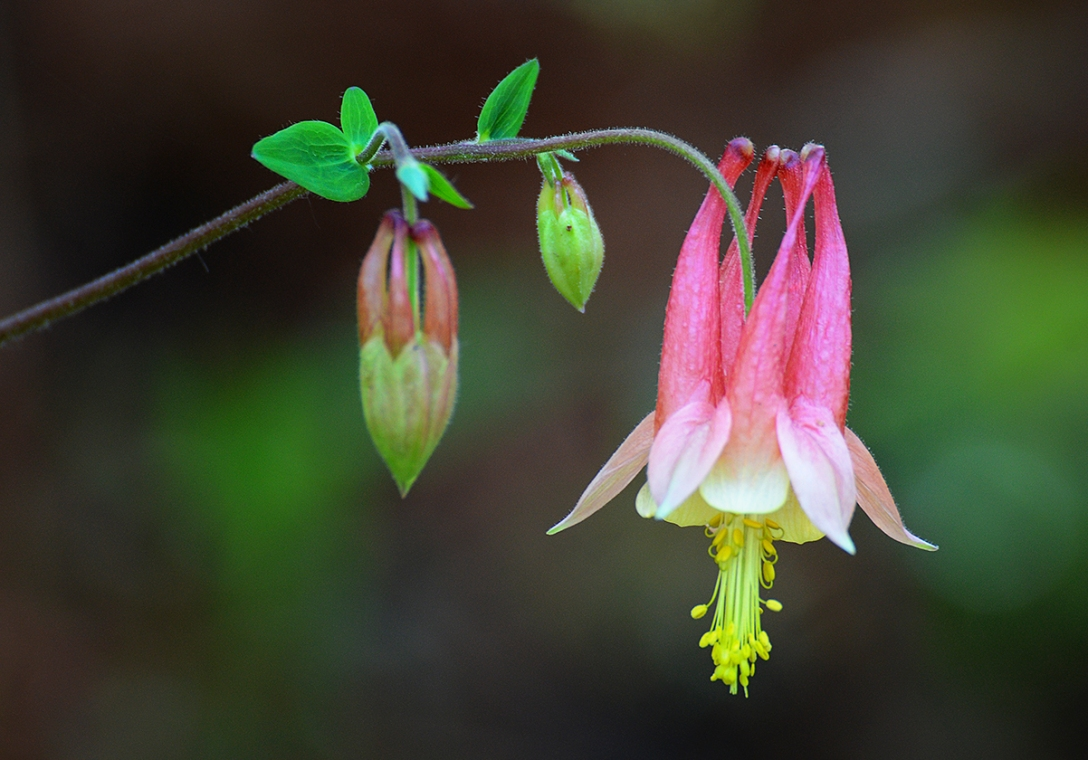 Columbine, Curry Mtn. Trail - Elkmont, TN