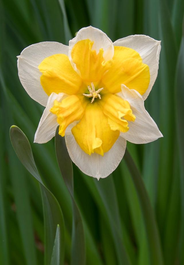 Daffodil, Spring Grove - Cincinnati,OH