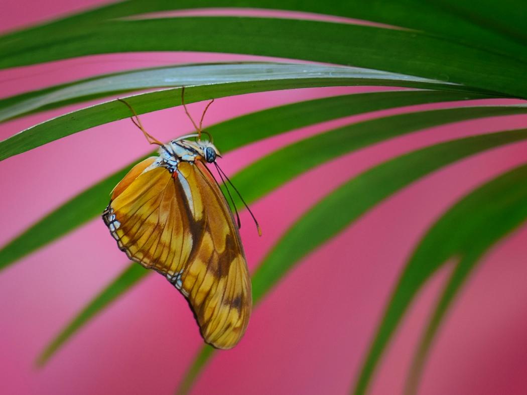 Krohn Orange Butterfly-5643