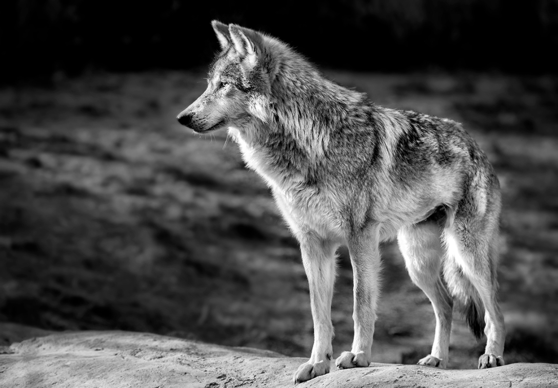 Wolf In Black & White