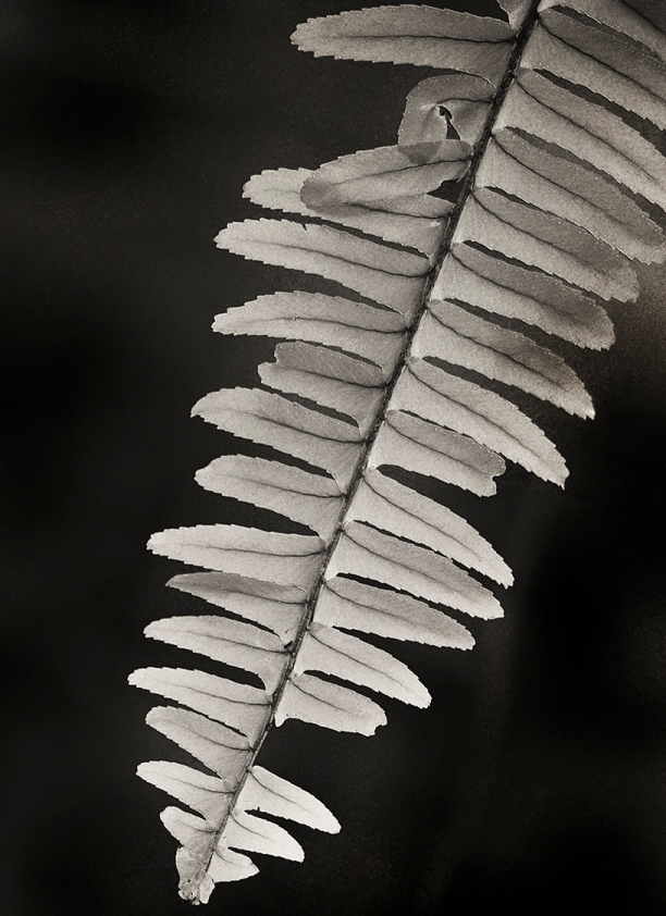 Small Fern Closeup