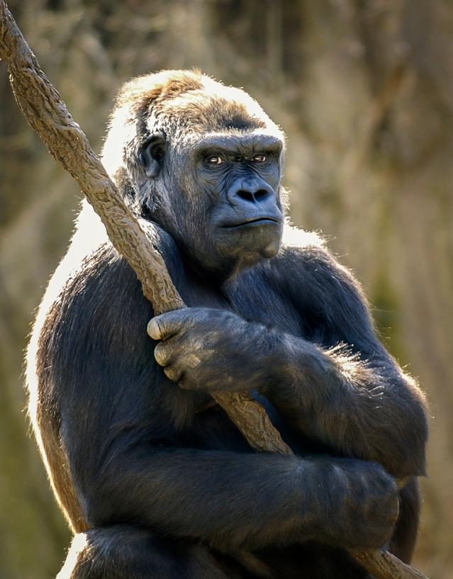 Western Lowland Gorilla Standing Guard