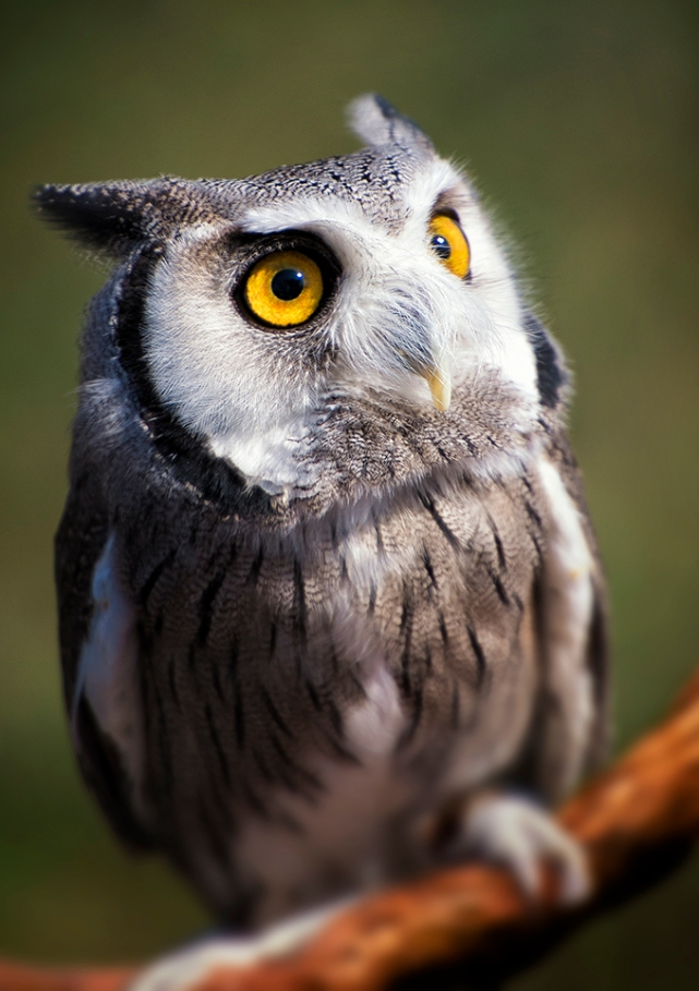 Tiny Whiskered Owl
