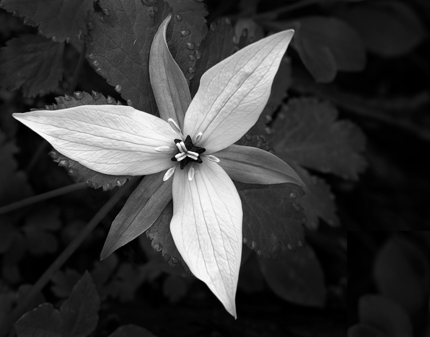 Trillium In Black & White