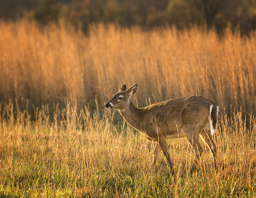 White Tailed Deer In Cades Cove